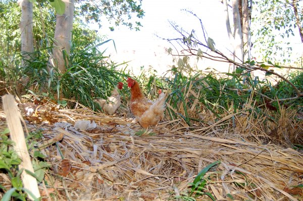South American chickens