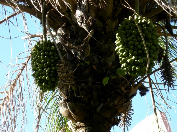 parasitic fig on a palm tree