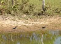 Southern lapwings (Vanellus chilensis) at the edge of a small watering hole