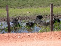 water buffalo (Bubalis bubalis) cooling off in a pool