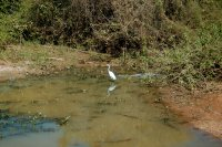 Great White Egret with a Cayman close by