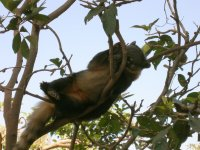 Quati (Nasua nasua) Ring-tailed coati (5)