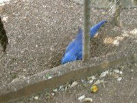 Hyacinth macaw trying to dig an escape route