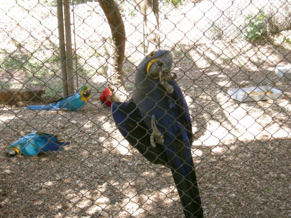 Hyacinth macaw on the fence