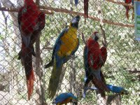 more parrots and macaws (2)