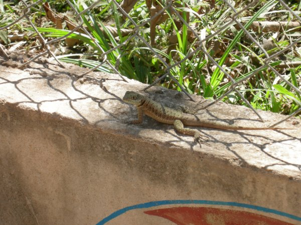 A lizard on the wall by the side of the walkway