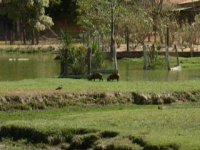 Young capivara playing, and a deer grazing