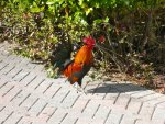 Roosters run free on the island of Key West.