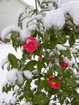 Chamilia Blooming with Snow