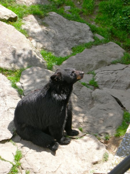 Bears at the Grandfather Mountain animal exhibit.