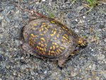 box turtle sunning itself on the road