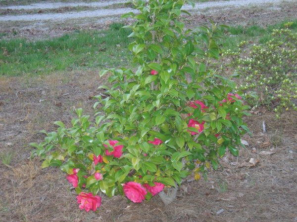 Cynthia's rose bushes (1)