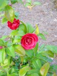 Cynthia's rose bushes (3)