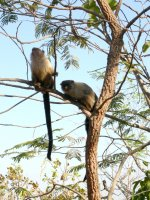 more marmosets in a tree